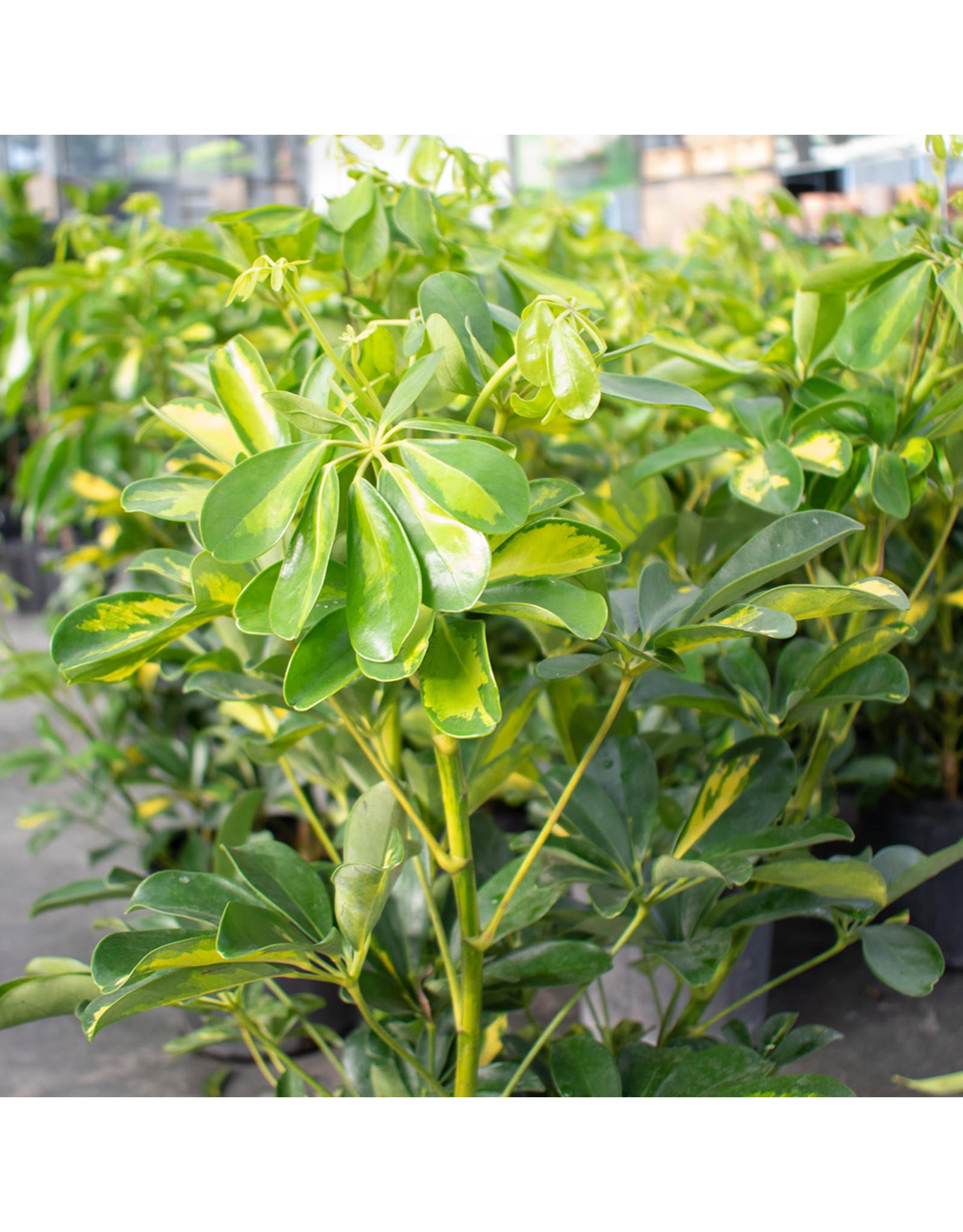 """Arboricola - Gold Capella Bush - 10"""""""