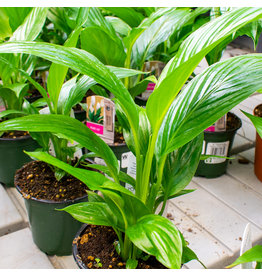 Peace Lily - 4''