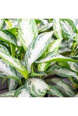 Miami Tropical Plants Aglaonema - Silver Bay - 6''