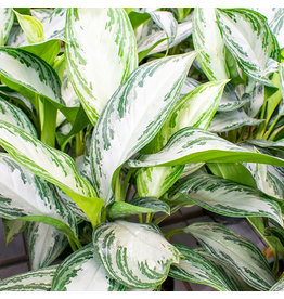Miami Tropical Plants Aglaonema - Silver Bay - 6""