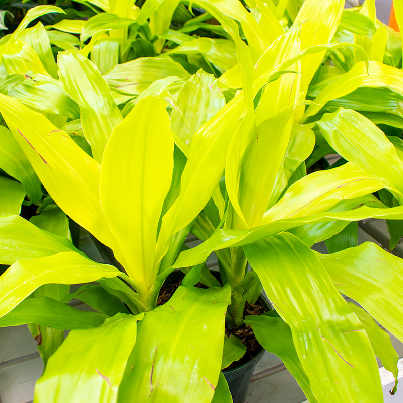 """ShopTropicals Dracaena - Limelight - 2ppp - 6"""""""