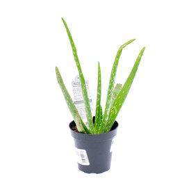 Succulent - Aloe Vera - Medicinal - 9cm A010412