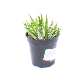 Succulent - Haworthia Fasiciata - Zebra Plant - 9cm A0104149