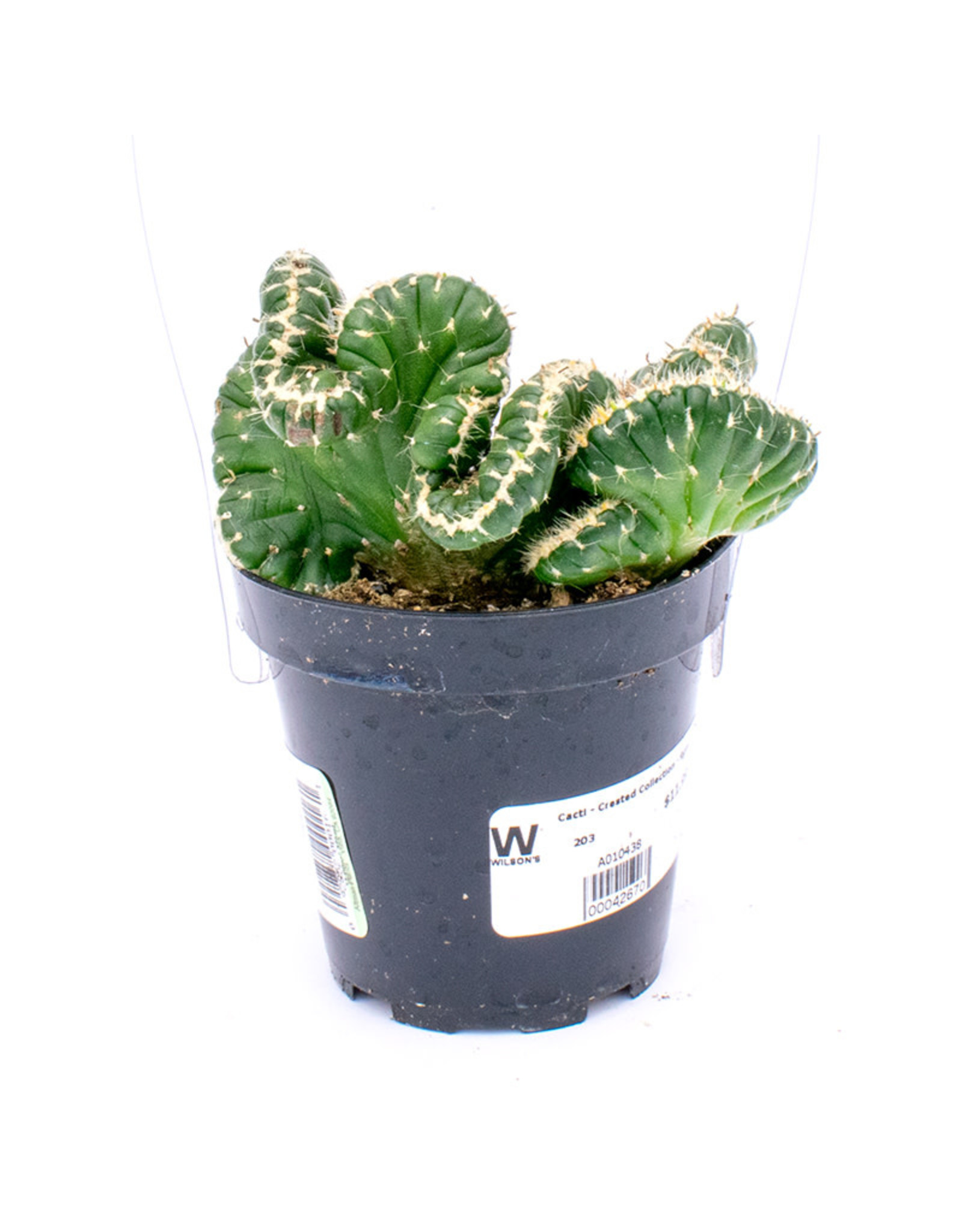 Cacti - Crested Collection - 9cm A010438