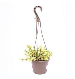 Succulent - Assortment Hanging Basket - 6'' A010614
