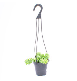 Succulent - Assortment Hanging Basket - 9cm A010910