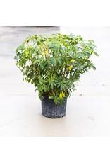"Arboricola - Green Bush - 14"""