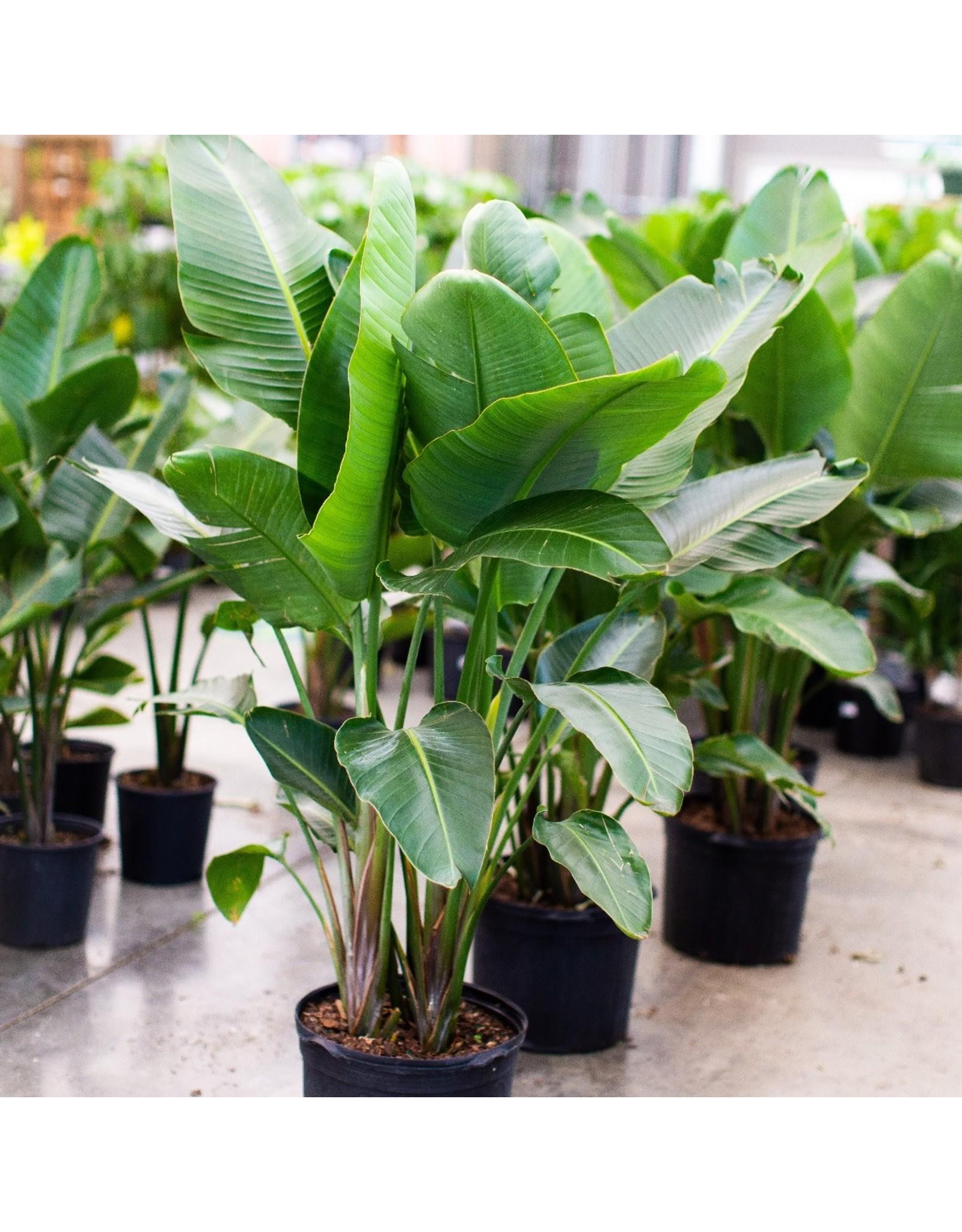 """Miami Tropical Plants Bird of Paradise White - 14"""""""