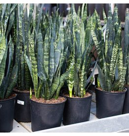 Miami Tropical Plants Sansevieria - Black Coral - 10""
