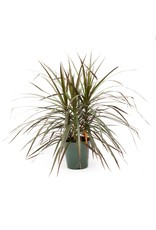 Dracaena - Marginata Tips - 6''