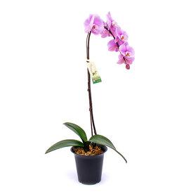 Orchids - Phal. Malibu Madonna /9+BL - 6''