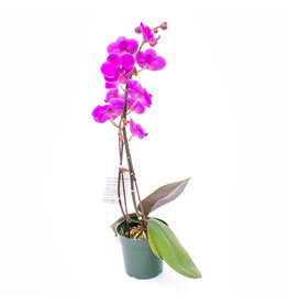 Orchid - Dark Purple mini 2 stems - 4''