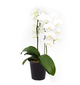 Orchid - White Waterfall - 2 Stems - 6''