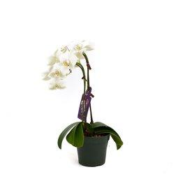 Orchids - Mini White Orchid 2 stems - 4''