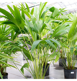 Miami Tropical Plants Palm - Chinese Fan - 10""
