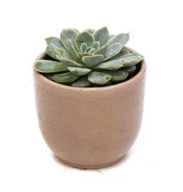 Succulent - Echeveria Collection - 2.5'' A010324