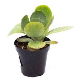 Succulent - Flapjacks - 9cm A010465