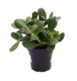 Succulent - Jade - 9cm A010413