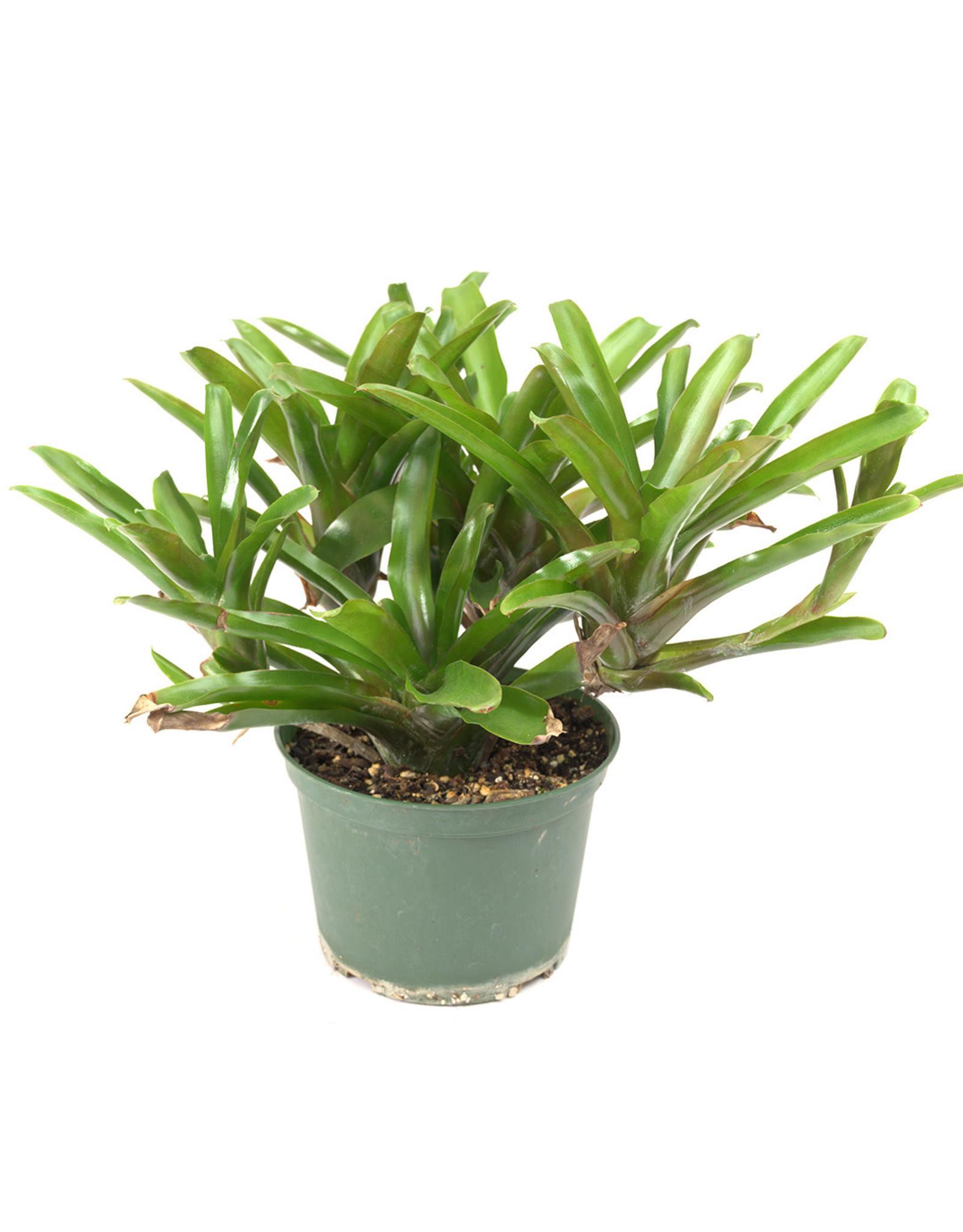 Bromeliad - 6''