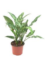 "Miami Tropical Plants Aglaonema - Maria - 6"""