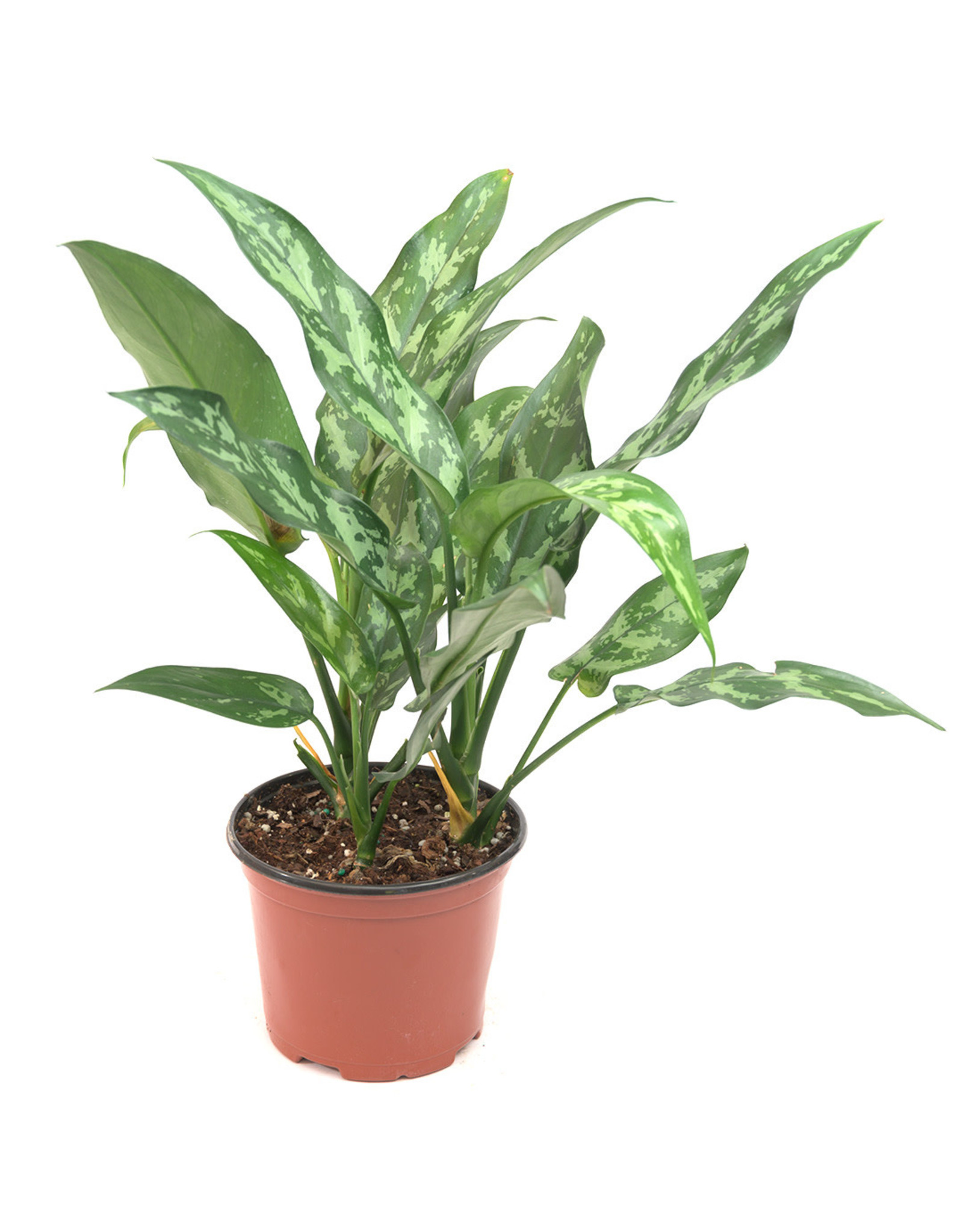 Miami Tropical Plants Aglaonema - Maria - 6''