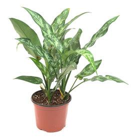 Miami Tropical Plants Aglaonema - Maria - 6''