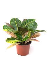 "Miami Tropical Plants Croton Assorted - 6"""