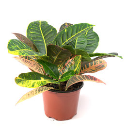 Miami Tropical Plants Croton Assorted - 6''