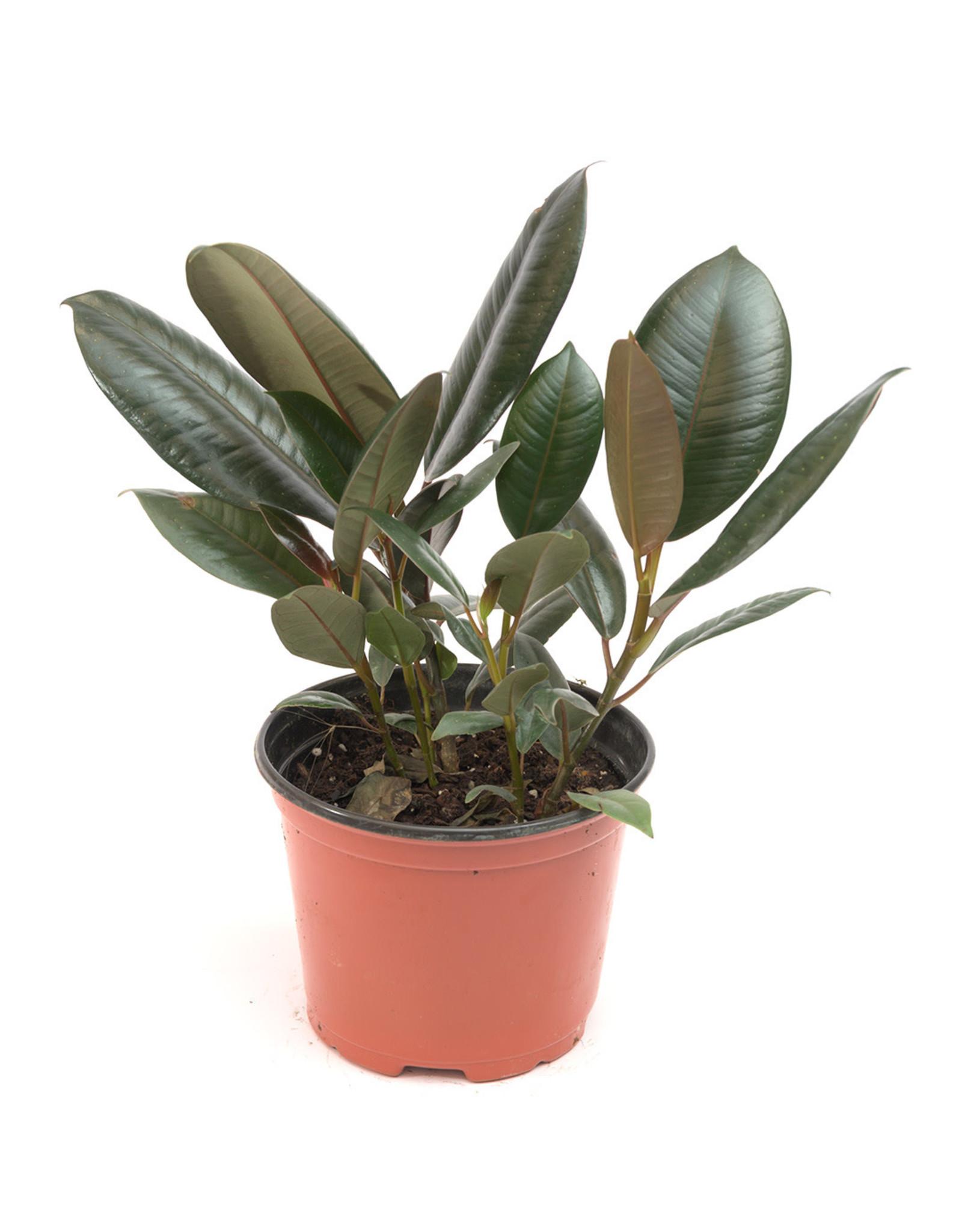 "ShopTropicals Ficus - Burgundy Bush - 6"""