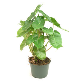 """Philodendron - Burle Max - 6"""""""