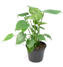 """Philodendron - Monstera - 6"""""""