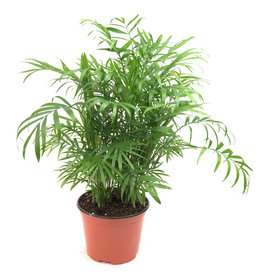Miami Tropical Plants Palm - Neanthe Bella - 6""