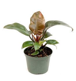 "Philodendron - Black Cardinal - 6"""