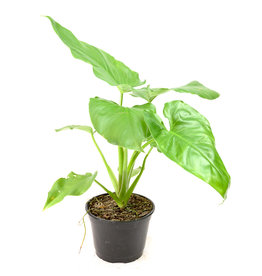 """Philodendron - Giganteum - 6"""""""
