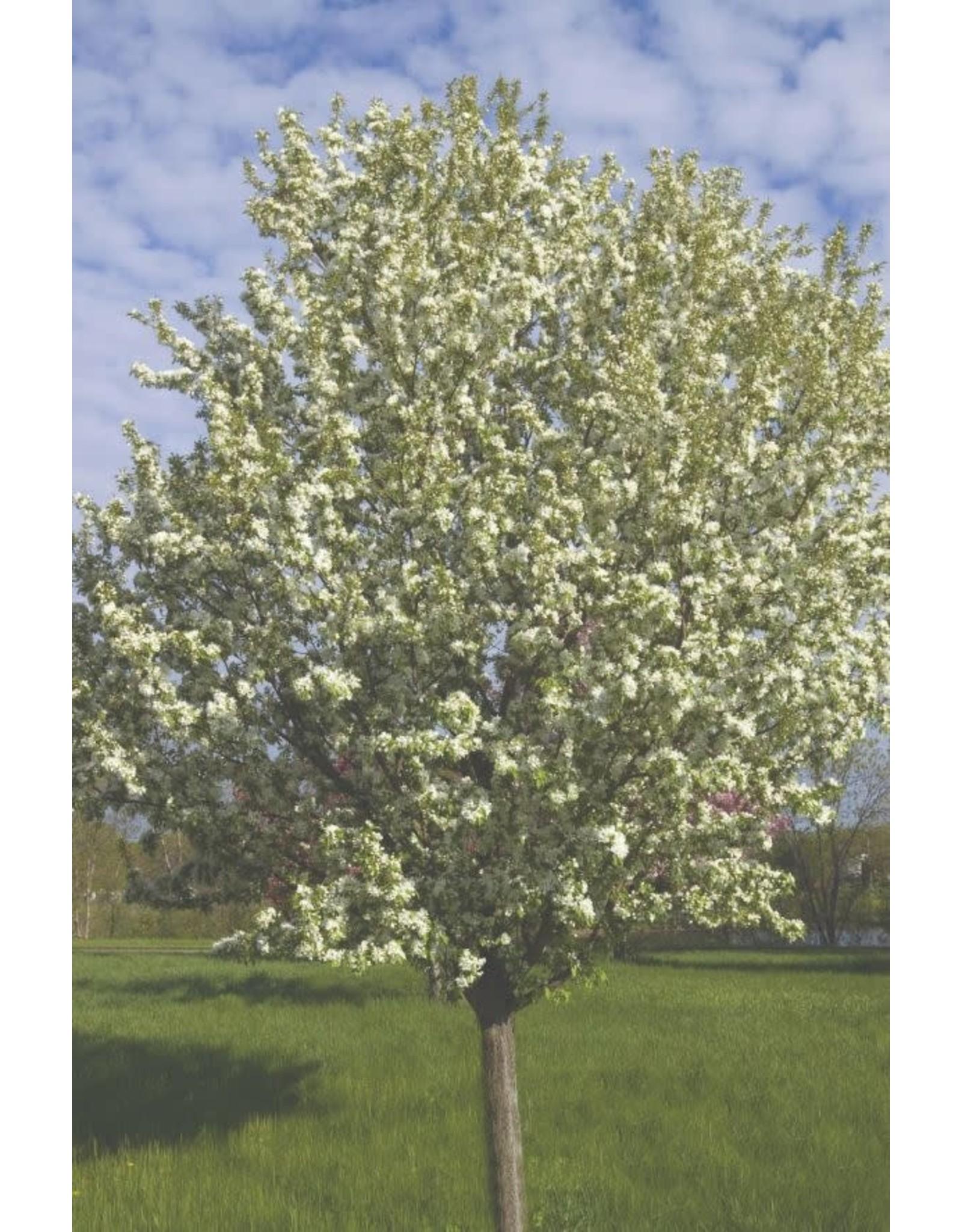 Crabapple - Spring Snow - #5
