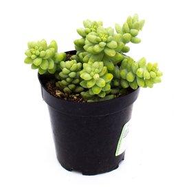 Succulent - Donkey Tails - 9cm A010451