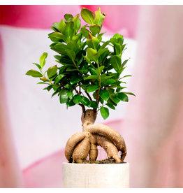 Bonsai - Ficus Ginseng Upgrade - 5''