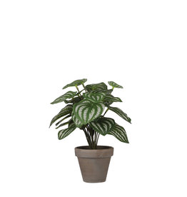 Peperomia l. green in pot Stan grey d9cm - h24xd23cm