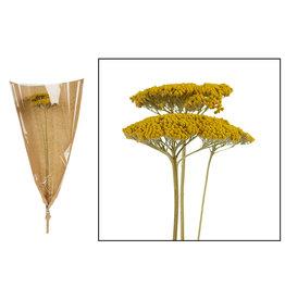 Dijk Achillea 3pc yellow 70cm
