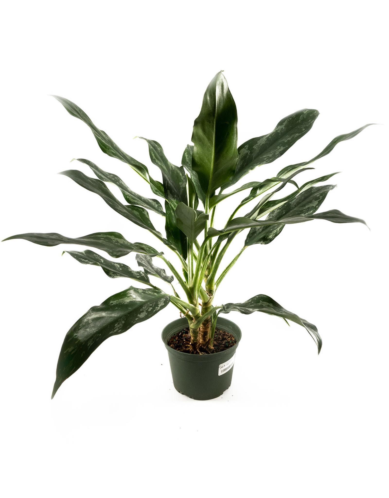 "Miami Tropical Plants Aglaonema Shades - 6"""