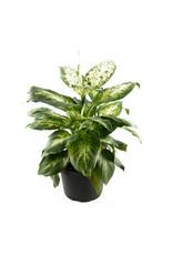 "Miami Tropical Plants Dieffenbachia - Perfection Compacta - 6"""