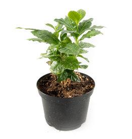 "Coffee Plant - 6"""