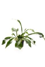 Fern - Staghorn - 6''