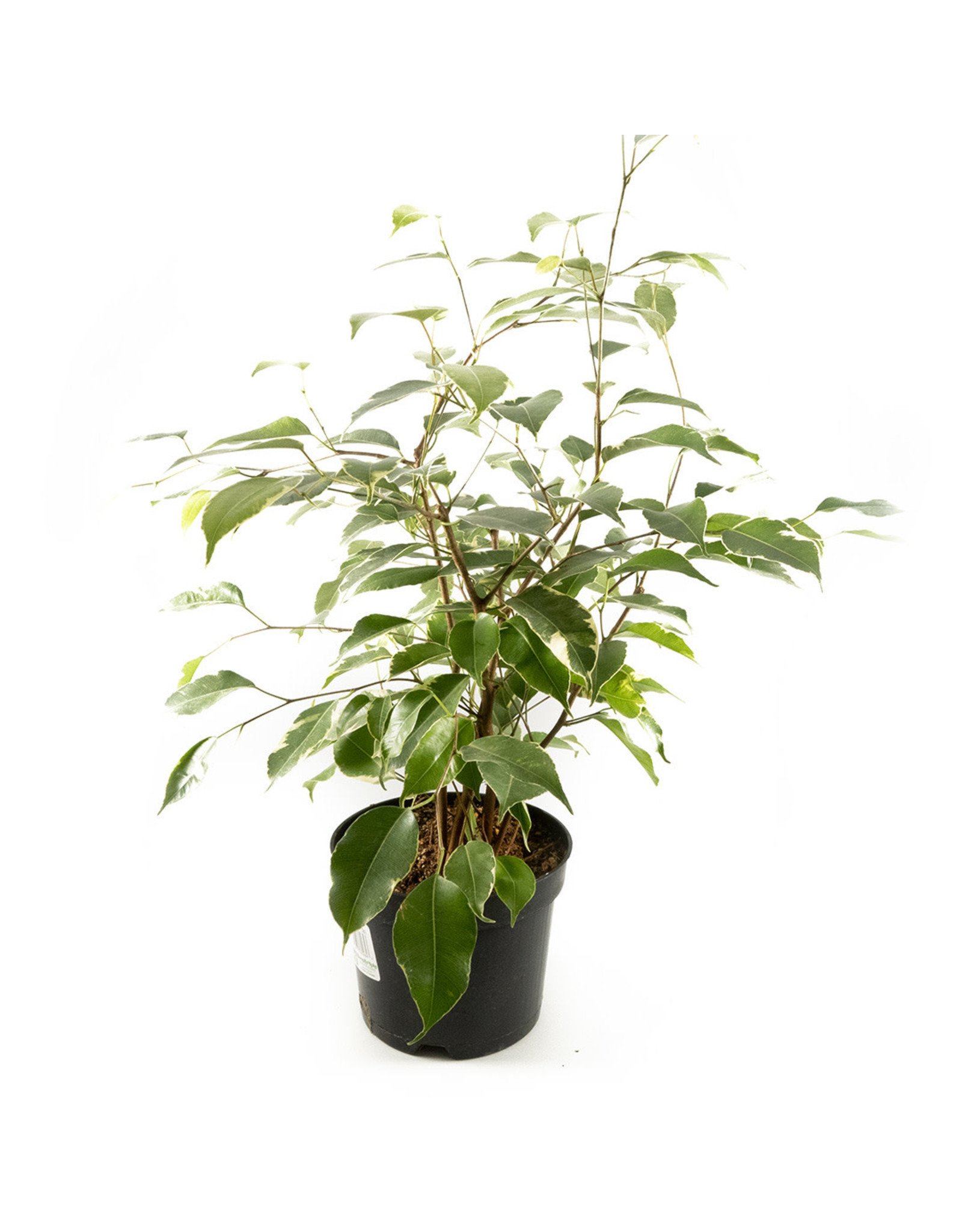 Ficus - Weeping Fig Variegated - 6""