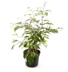 Ficus - Weeping Fig Variegated - 6''
