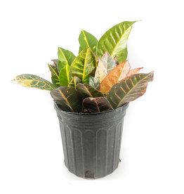 Miami Tropical Plants Croton - Petra - 6''