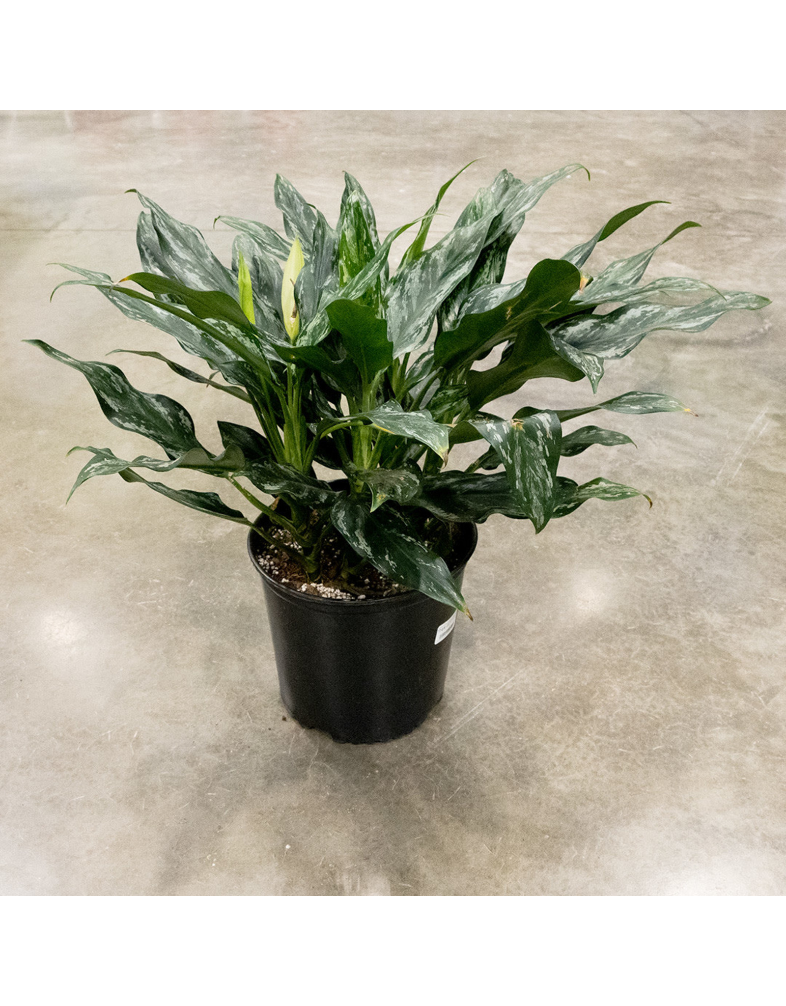 Miami Tropical Plants Aglaonema - Shades - 10""