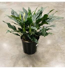 Miami Tropical Plants Aglaonema - Shades - 10''