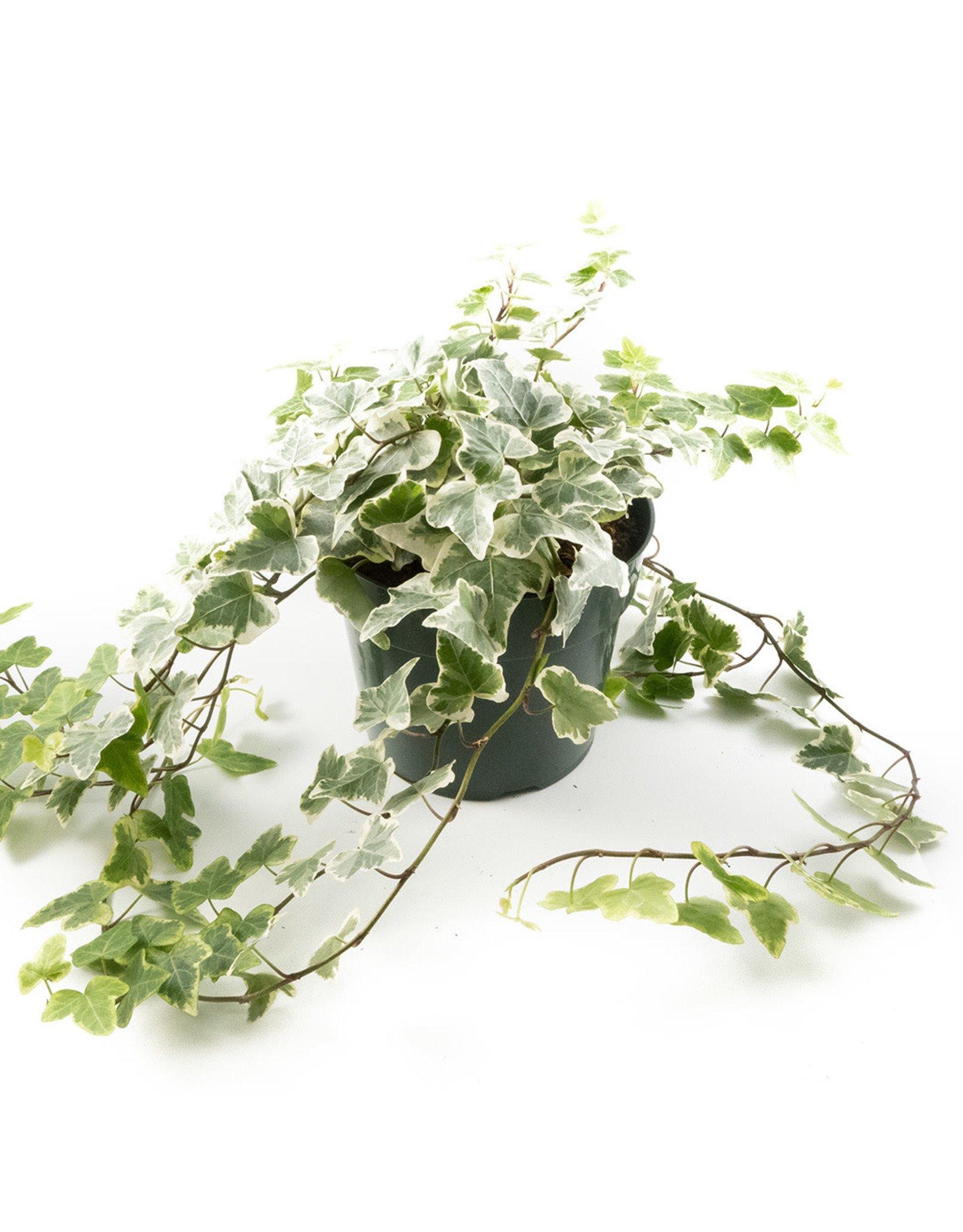 English Ivy - Vari.Pot O'Ivy - 6''