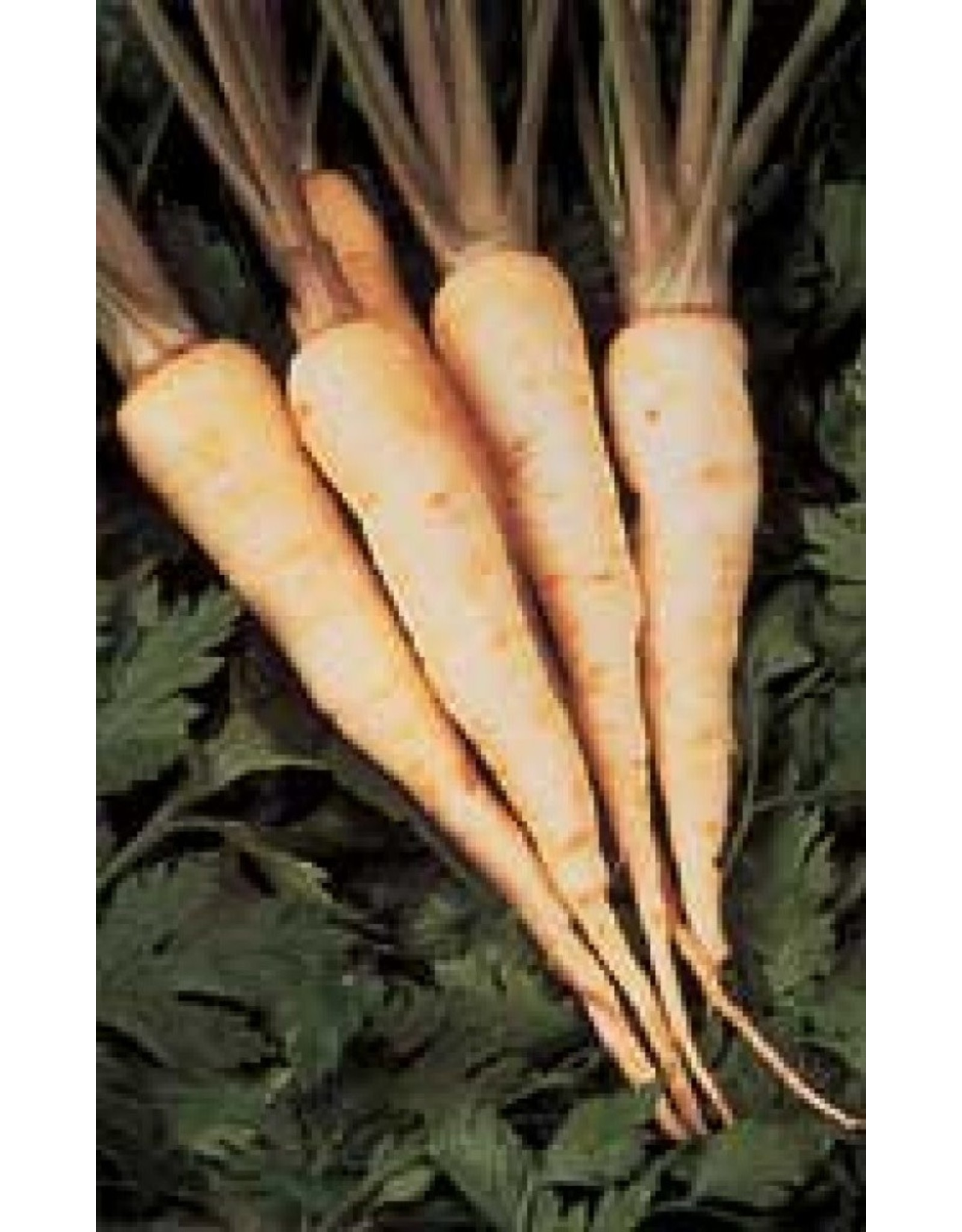 Hollow Crown Improved Parsnip Seeds 1880